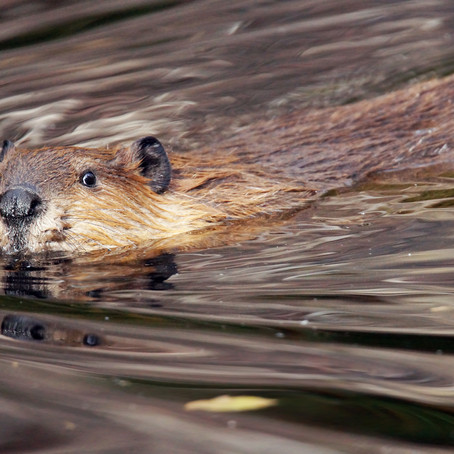 How Do Beavers Hold Their Breath For So Long?