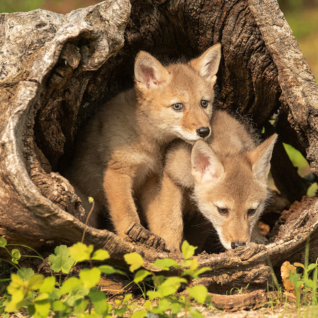 Heard But Not Seen: Coyotes Thrive In The Dark