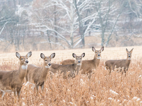 Deer Sport Puffy Coats To Keep Them Warm in Winter