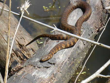 This Snake Is Equally at Home in Water and on Land