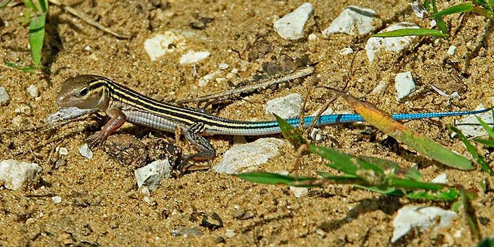 Reptiles of the Dunes