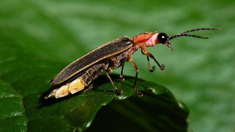 Firefly Hike for Families