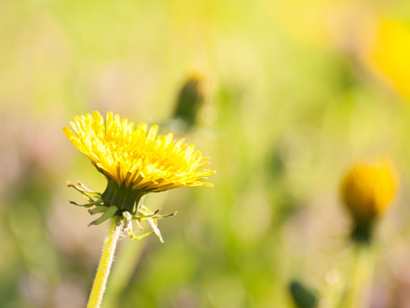 Five Fun Facts About Those Dandy Dandelions