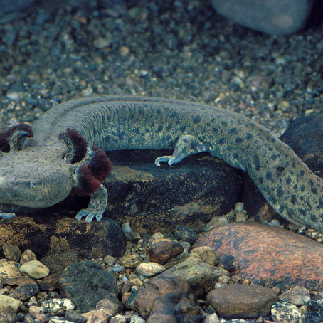 For Mudpuppies, Fall Is Crucial For Species' Survival