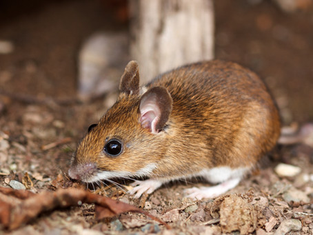 White-Footed Mice Are Beneficial Creatures, Not Pesky Pests