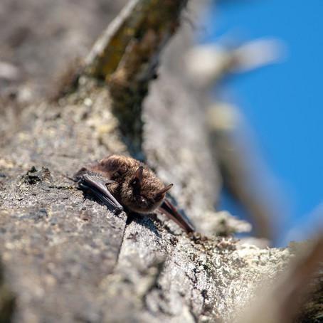 Go Batty For Beneficial Little Brown Bats