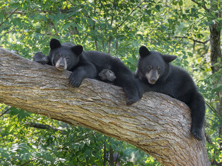 Bears In Illinois? Not Today, But Once Upon A Time
