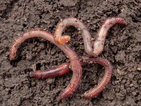 Why Do Worms Surface When It Rains?