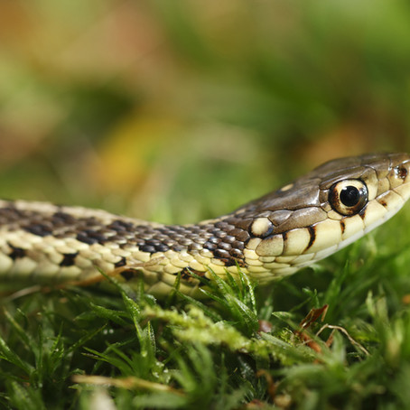 A Snake In Your Yard? It's Likely A Garter Snake