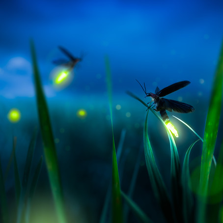 Light Bright: Five Fun Facts About Fireflies