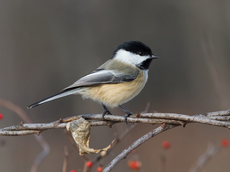 Do-Do-Do You Know About the Chickadee-Dee-Dee?