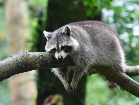 Love Them Or Hate Them, Raccoons Are Crafty Critters