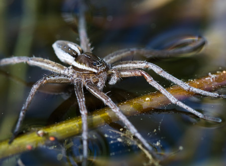 The Science Behind A Fishing Spider's Superpower