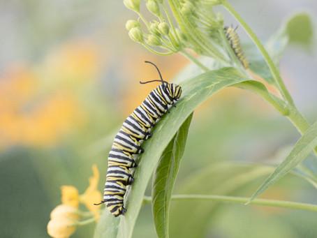 Monarchs Begin Life As Very Hungry Caterpillars