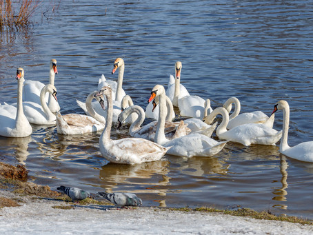 Water Birds: The Swans of Will County