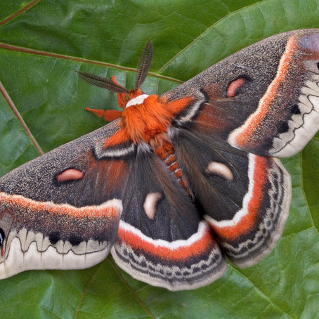 Celebrate Cecropia Moths Right in Your Own Yard