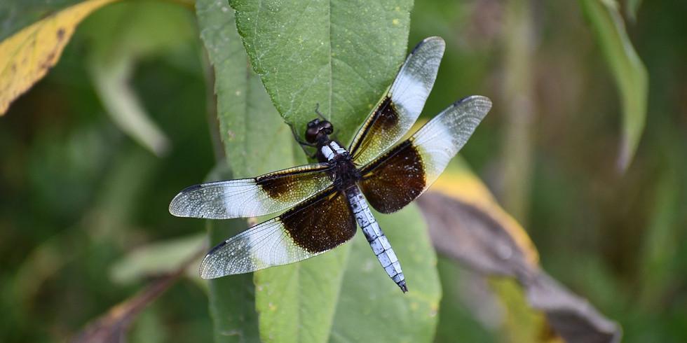 Daring Dragonflies