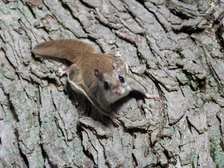 Flying Squirrels: The Pilots of the Forest