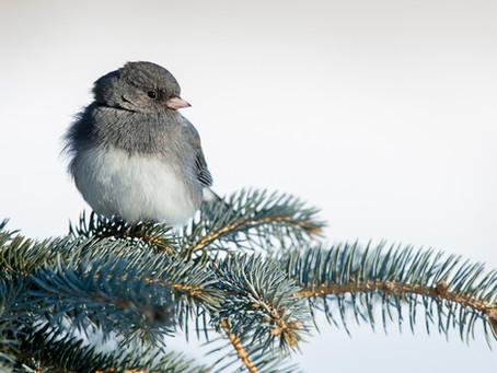 Meet the Dark-Eyed Junco, Our Resident Snowbird