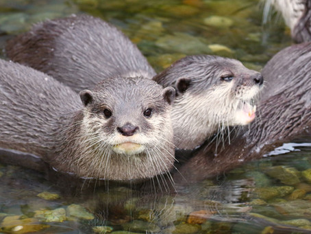 River Otters Are Built To Swim