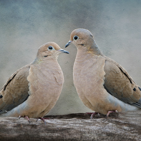 Whooo's Out There? Mourning Doves Can Sound Like Owls