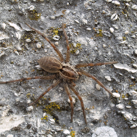 Don't Be Scared. Wolf Spiders Are Harmless