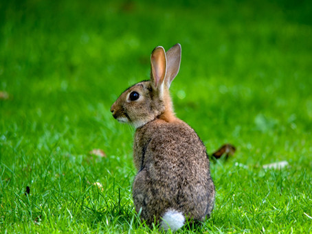 Nature's Disgusting Side: Rabbits Eat Their Poop