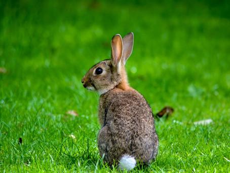 Nature's Disgusting Side: Rabbits Eat Their Poop