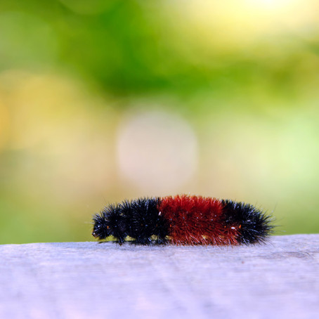 Myth Buster: Woolly Bear Caterpillars Don't Predict Winter Weather
