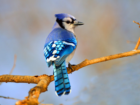 Why Is Blue So Rare in the Animal Kingdom?