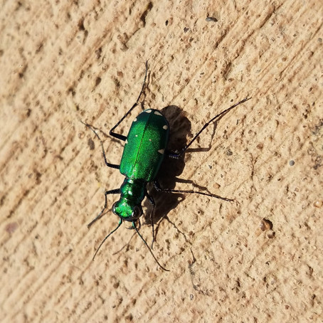 These Shiny Beetles Are Emerald Jewels of the Forest