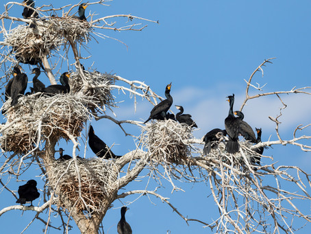 Busting Myths About The Maligned Double-Crested Cormorant
