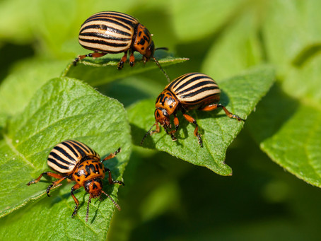 How Do Beetles Protect Themselves? In So Many Ways