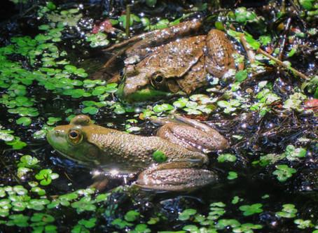 Can You ID The Frog? Bullfrog vs. Green Frog