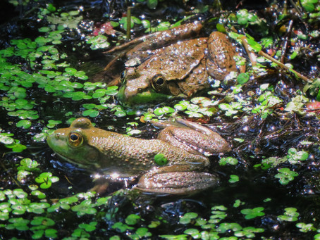 Can You ID The Frog? Bullfrog vs. Green Frog