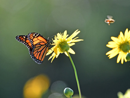 Can You Fly Like a Monarch? Head Outside and Try