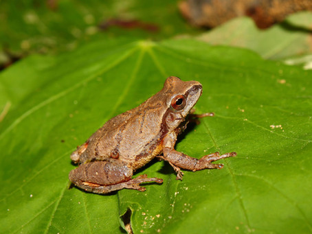 Tiny Spring Peepers Create The Sounds Of Spring