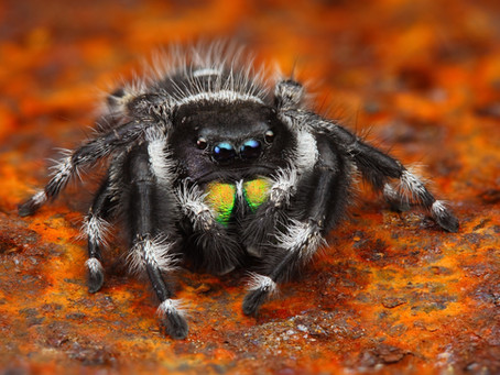 The Bold Jumping Spider Looks And Acts The Part