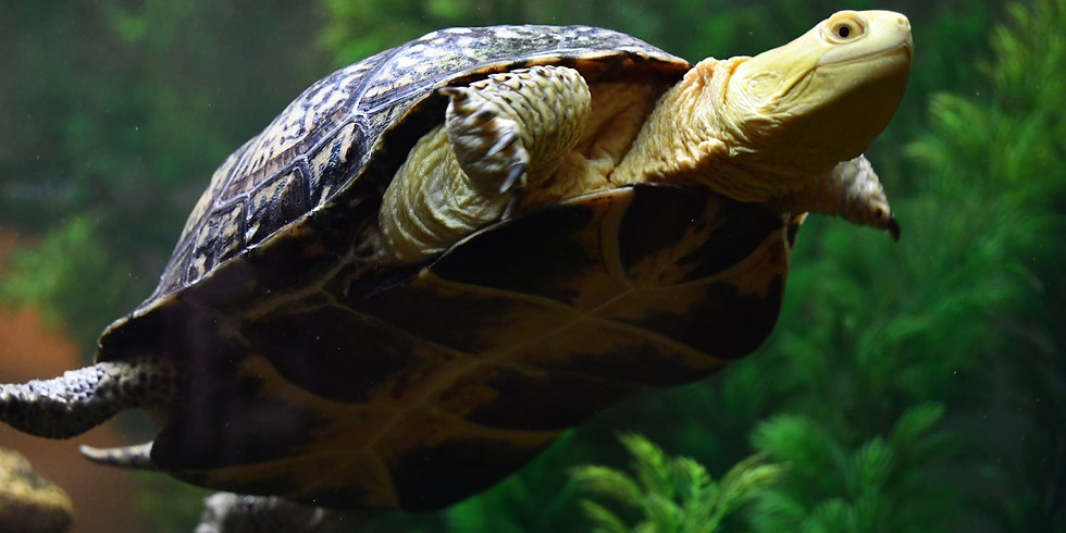 Turtle Time (Zoom webinar)