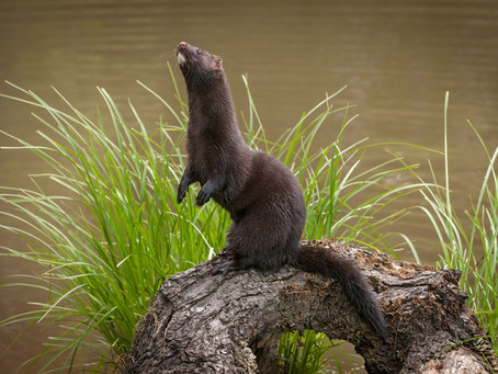 Get To Know The American Mink