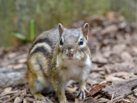 What's the Difference: Chipmunk vs. Ground Squirrel