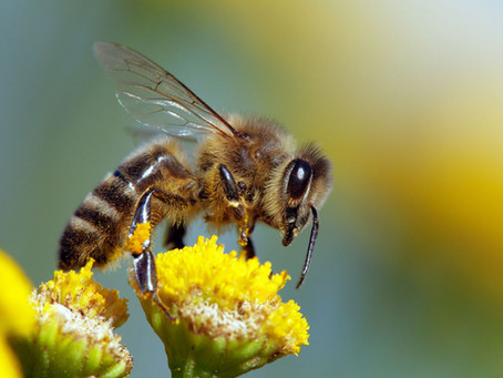 Why Do Bees Have Pockets? For Pollen, Of Course