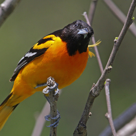 5 Fun Facts About Bright And Colorful Orioles