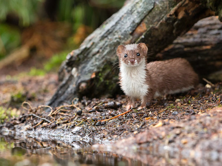 The Least Weasel: Illinois' Smallest Carnivore