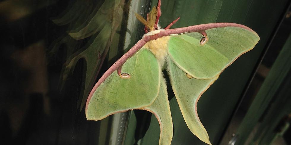 Moth Mania (Zoom webinar)