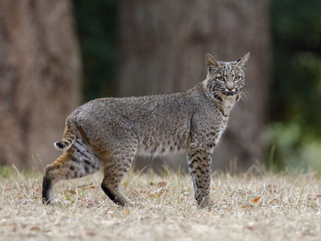 Bobcats in Illinois? You Bet