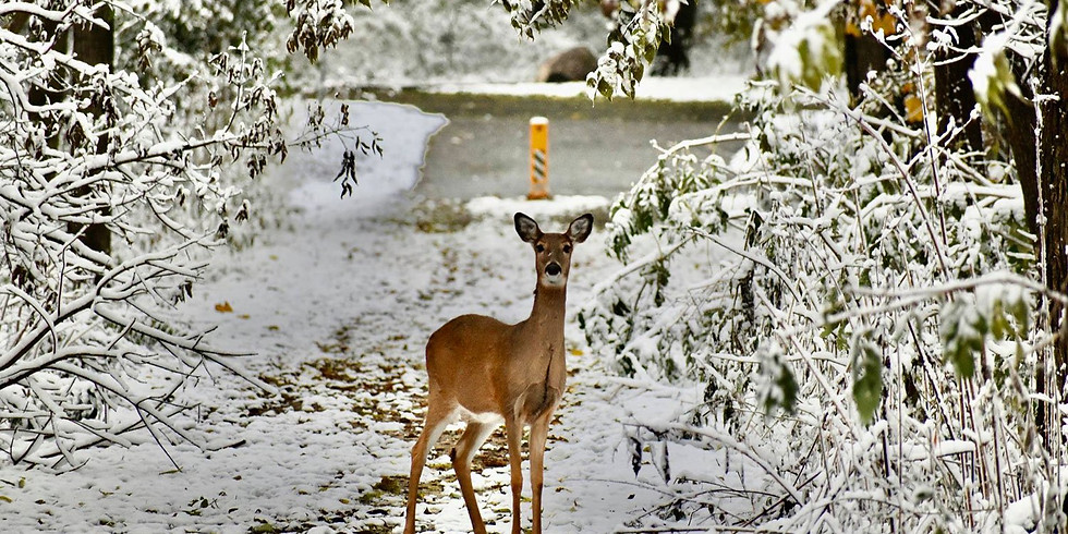 Little Explorers: White-tailed Deer