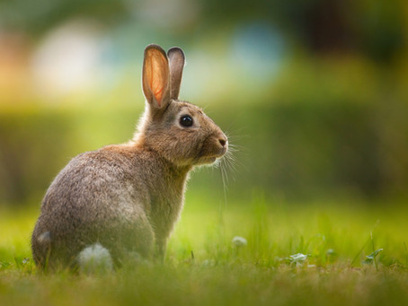 Common And Cute: Learn More About Cottontail Rabbits