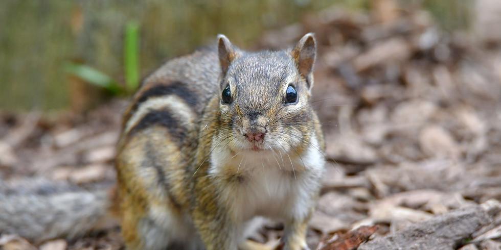 Little Explorers: Chipmunks