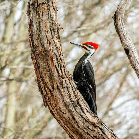 Why Are Woodpeckers So Noisy? They Have A Lot To Say